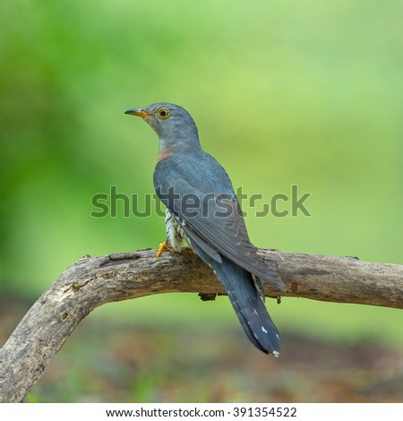 Beautiful of Cuckoo Bird, Indian Cuckoo (Cuculus micropterus), standing on branch showing it back profile in nature of Thailand - stock photo