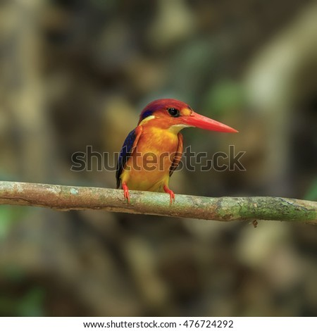 Beautiful of Kingfisher Bird, Black-backed Kingfisher or Oriental Dwarf Kingfisher (Ceyx Erithaca), perching on branch, in nature of Thailand