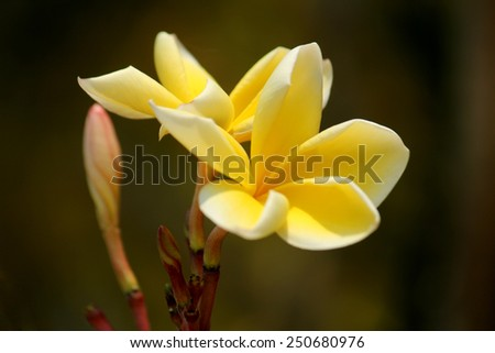 Beautiful of Plumeria