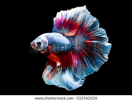 beautiful of siam Betta fish in thailand on black background - stock photo
