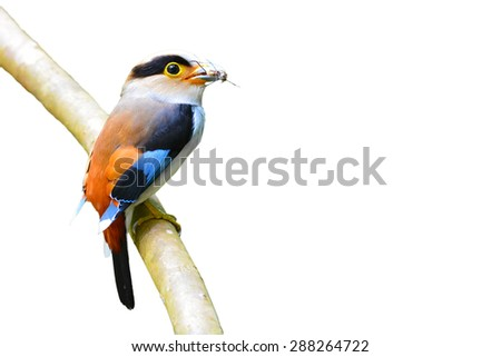 Beautiful of Silver-breasted Broadbill bird (Serilophus lunatus) perching on a branch on white background.