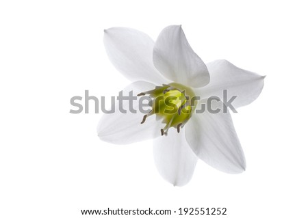 Beautiful of white lily flower isolated on white background.Closeup