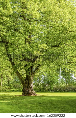 Beautiful old linden tree in the springtime landscape. - stock photo