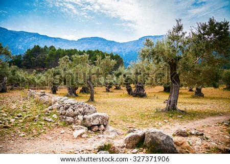 beautiful old olive trees valley in Mallorca, Spain - stock photo