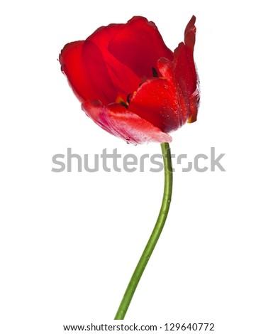 Beautiful one single red tulip close up isolated on white background - stock photo