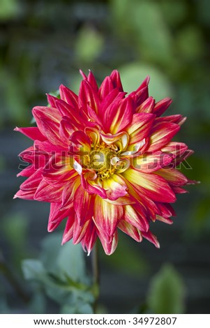 Beautiful Orange and Yellow Dahlia close up with natural green background.