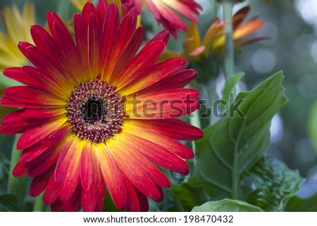 Beautiful orange and yellow Gerber or Gerbera Daisy isolated on white background. - stock photo