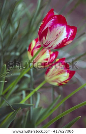 Beautiful orange and yellow tulips grown in a botanical garden - stock photo
