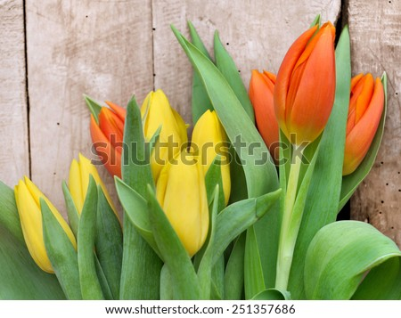 beautiful orange and yellow tulips in their leaves on wooden background - stock photo