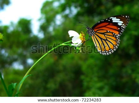 beautiful orange butterfly resting on a white flower - stock photo