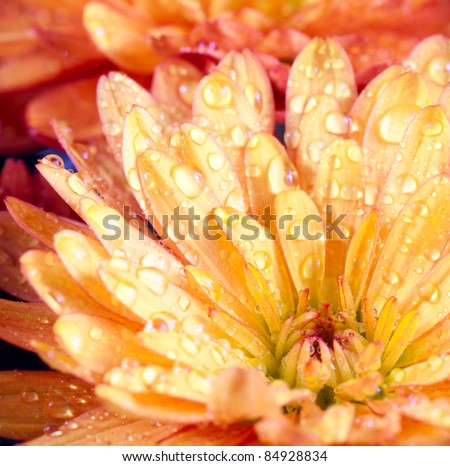 Beautiful orange chrysanthemum flower autumn vivid background with dew - stock photo