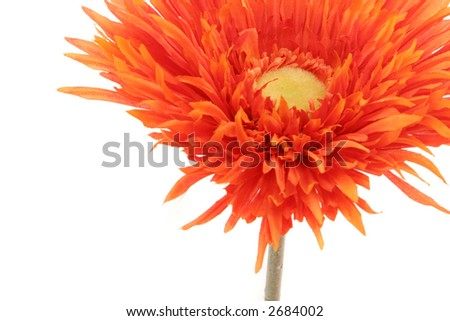 Beautiful orange color gerbera daisy isolated on white background