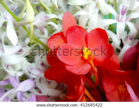 beautiful orange Dendrobium orchid. Orange orchid. Beautiful orchid. Orange flower on white flower background. Orange flower. - stock photo