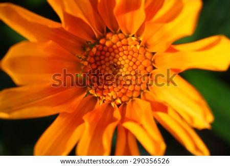 Beautiful orange Gazania flower - stock photo