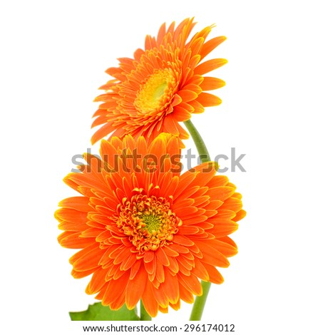 beautiful Orange gerbera flower isolated on white background - stock photo