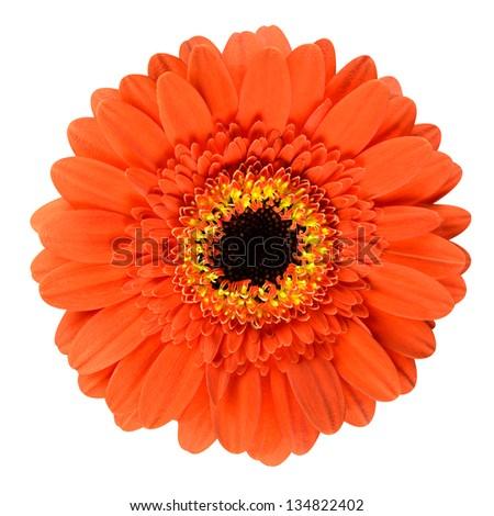 Beautiful orange gerbera flower black center stock photo 134822402 beautiful orange gerbera flower with black center close up isolated on white background mightylinksfo