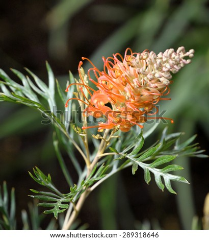 Beautiful orange Grevillea flowers surrounded by green leaves - stock photo