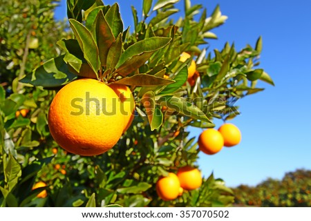 Beautiful orange groves of Florida on a sunny day
