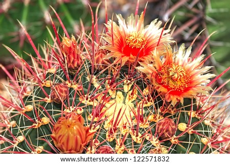 Beautiful orange red flowers on the cactus - stock photo