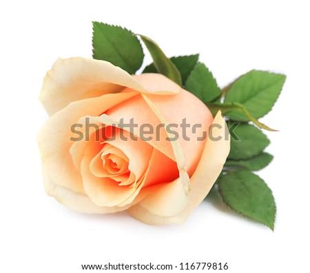 Beautiful orange rose on white - stock photo