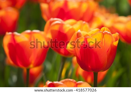 Beautiful orange tulip - soft bokeh background - sunny bright scene - stock photo
