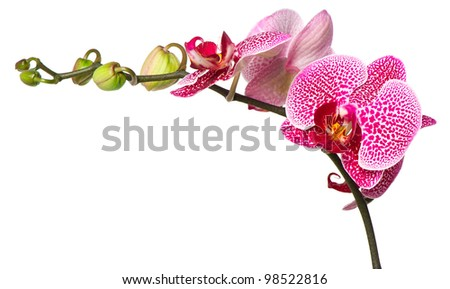 beautiful orchid flower on white background - stock photo