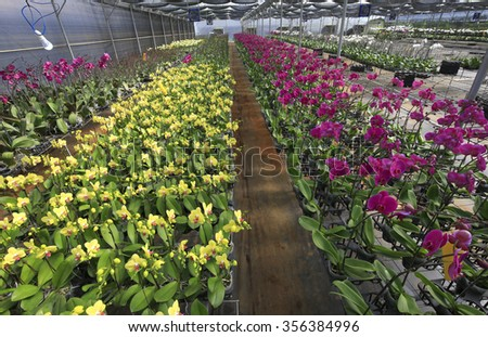Beautiful orchid flowers in orchid farm - stock photo