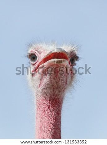 Beautiful Ostrich staring at camera - stock photo