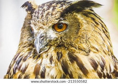 beautiful owl with intense eyes and beautiful plumage - stock photo