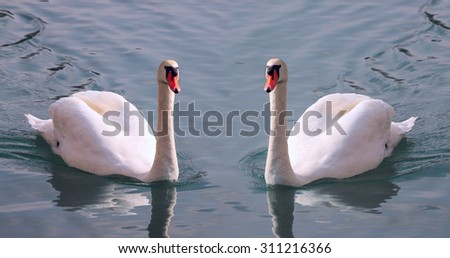Beautiful pair of white swans with orange beak on a water - stock photo