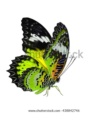 Beautiful pale light yellow butterfly, the Leopard Lacewing butterfly in fancy color profile isolated on white background with all legs body and wings details