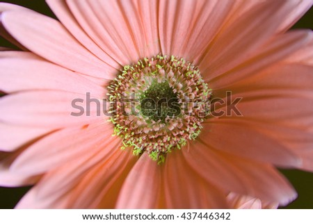 Beautiful pale orange gerber flower - stock photo