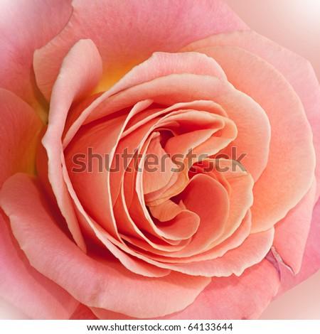 Beautiful pale pink rose. - stock photo