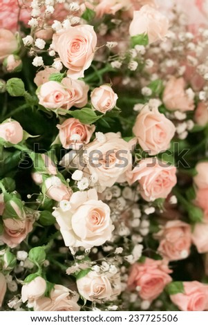 beautiful pale pink shrub roses