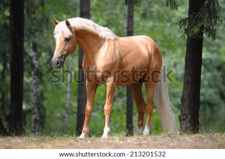 beautiful palomino horse stands in the meadow in forest - stock photo