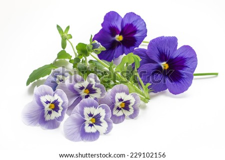 beautiful pansy flowers isolated on white background