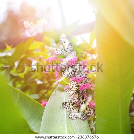 Beautiful paper kite butterflies (tree nymph) collecting nectar from pink flowers against the evening sun - stock photo