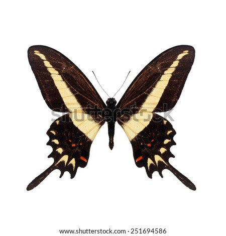Beautiful Papilio butterfly isolated on white background - stock photo