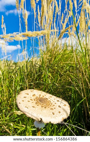 Beautiful parasol mushroom in grass in autumn time - stock photo