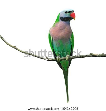 Beautiful parrot bird isolated white background - stock photo