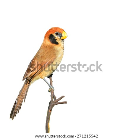 Beautiful Parrotbill bird, Spot-breasted Parrotbill (Paradoxornis guttaticollis), standing on a branch, side profile on white background