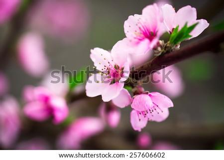Beautiful peach blossom. Soft focus - stock photo