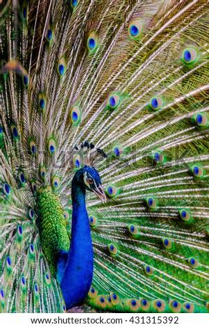 Beautiful peacock,closeup - stock photo
