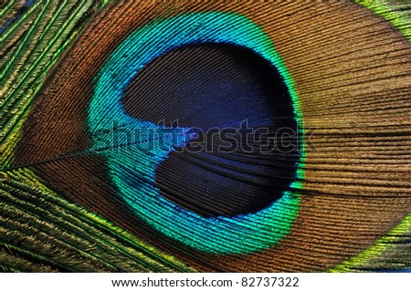 Beautiful peacock feather, close up , micro shot - stock photo