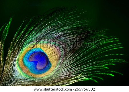 beautiful peacock feather close-up on a dark background - stock photo