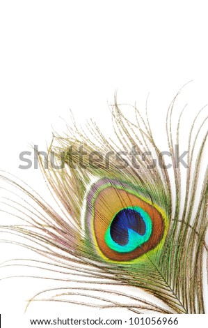 Beautiful peacock feather, close up ,on a white background - stock photo