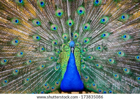 Beautiful peacock showing its feathers in a park - stock photo