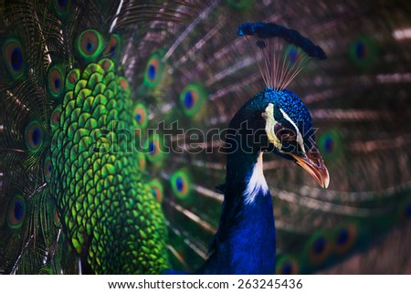 beautiful peacock with feathers out - stock photo