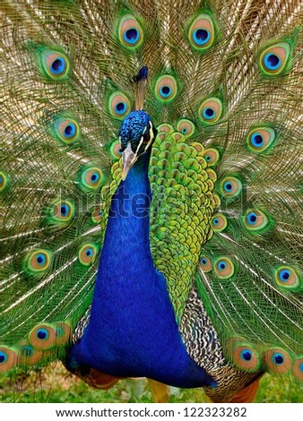 Beautiful Peacock with open feathers - stock photo