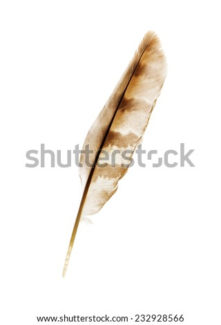 beautiful pen feather of Hawk on a white background isolated - stock photo